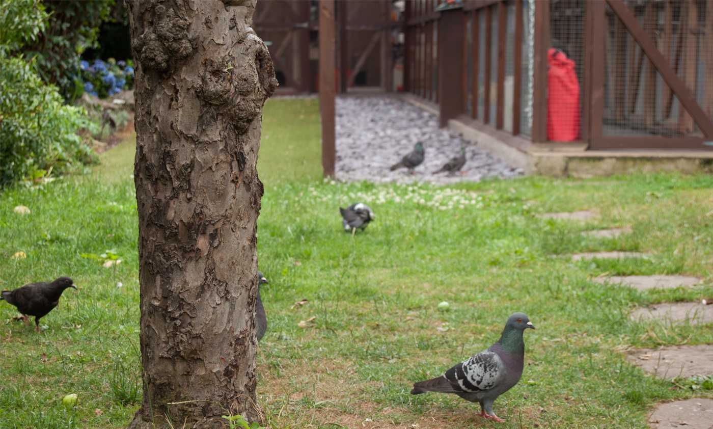 Pigeons ... great entertainment for the cats!
