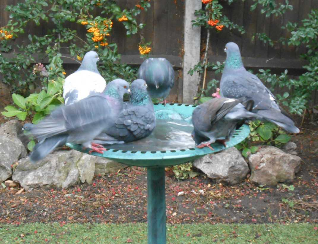 Pigeons entertaining the cats